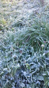 Frost on the crops